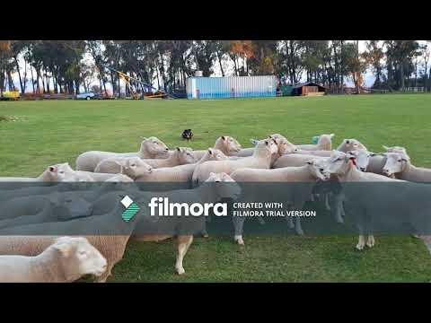 2017 RMA NETWORK WORKING STOCK DOG AUCTION  - LOT 21 - GWYDIR BOO