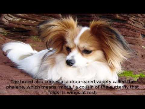 The Papillon dog gets its name from the French word for butterfly