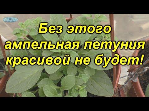 Выращиваете ампельную петунию? Обязательно сделайте с ней это!