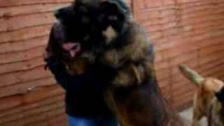 Sam and Becks - BIG DOGGY - Leonberger