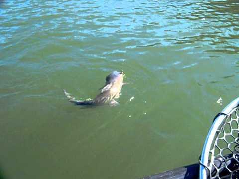 Catfish on apache lake az youtube for Big lake az fishing report