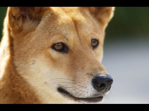 13 Wild Facts About Dingoes