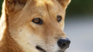 13 Dingo Facts