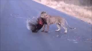 Леопард хочет Дикобраза
