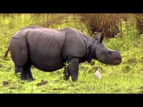 Phil Tufnell meets wild Indian Rhino | Saving Planet Earth: Rhino | BBC