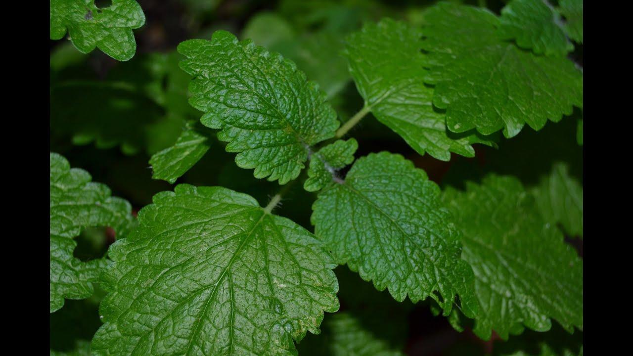 Melisa propiedades beneficios y usos melisa officinalis - Planta de melisa ...