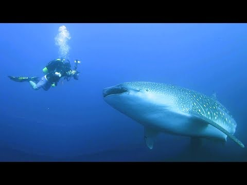 A chance encounter with a whale shark at Christmas Island