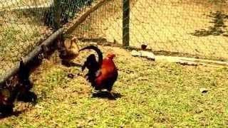 Beautiful Asian Chicken in Indonesia
