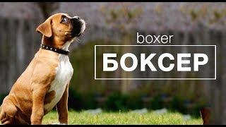 БОКСЕР. Немецкий боксер - сторожевой пёс.