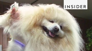 Dog Groomer Fluffs Up Pups Up With Color