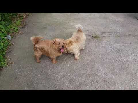 Norfolk Terrier Nooky (cute dogs humping)