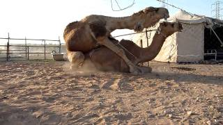 Repeat youtube video Camels mating