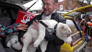ЗНАКОМСТВО ЩЕНКОВ.Алабай и Американский бульдог.Alabai and American Bulldog.Odessa.