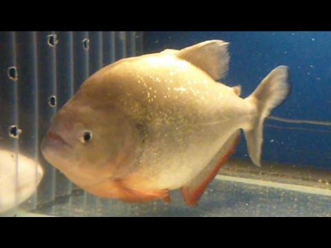 Jaws my piranha feeding on a big fish youtube for Watch big fish