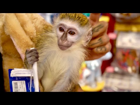 Buying My Baby Monkey EVERYTHING He Touches!