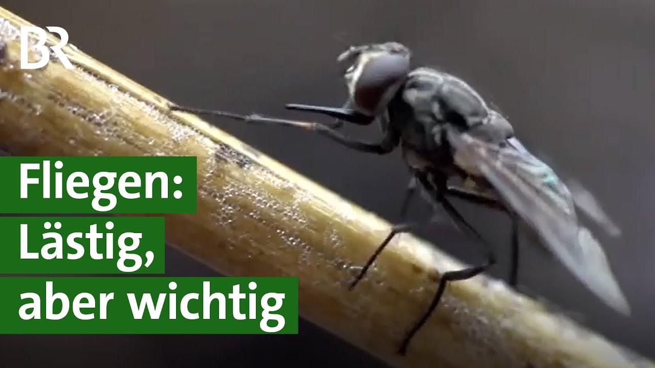 Fliegen: Krankheitsüberträger, lästig, aber wichtig für Ökosystem und Artenvielfalt   Unser Land