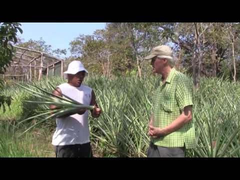 Growing Organic Pineapples