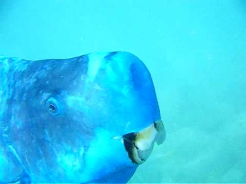 Blue parrotfish in aruba youtube for Blue parrot fish