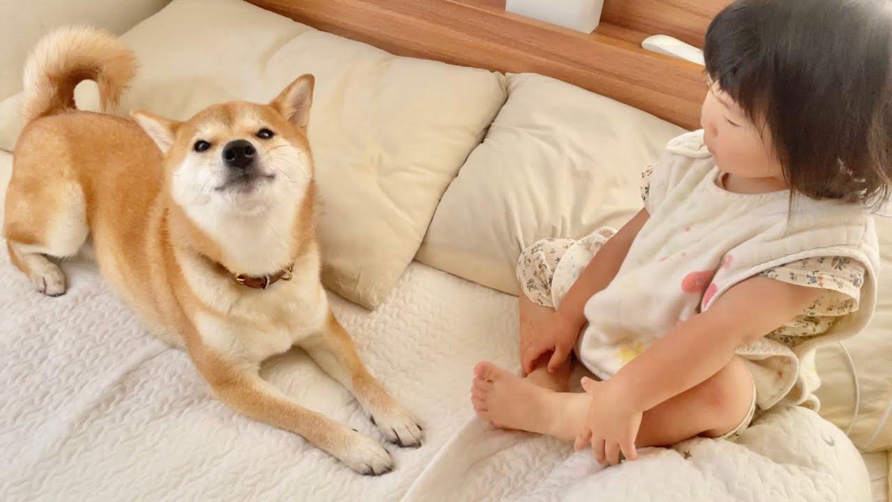 柴犬と2歳娘に囲まれて起きる朝がのどかすぎた