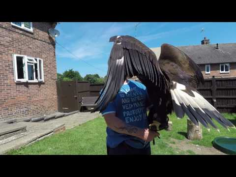 Golden eagle with sound