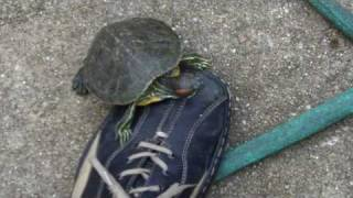 Turtle Rides on My Shoe