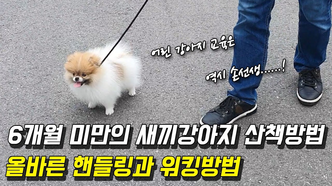 6개월 미만의 어린 강아지 산책방법, 올바른 핸들링과 워킹방법 공개(Feat. 포메라니안 별이)