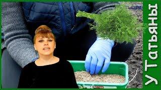видео Как вырастить базилик на подоконнике и в открытом грунте