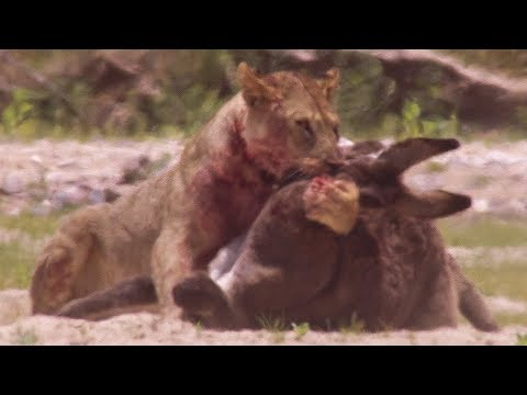 Young Lions kill Donkeys  - Natural World: Desert Lions - BBC Earth