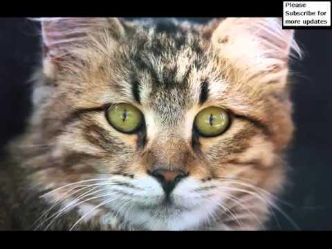 Orange American Bobtail   Cat Picture Collection