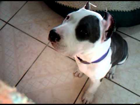 pitbull blue nose ear crop (Roxy) - YouTube