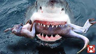 Акула в Деле Сумасшедшие Битвы Животных Снятые на Камеру