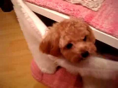 AKC Micro Teacup Poodle - MOKONA.MOMOKO (Chicken Lover) Part #1 ...