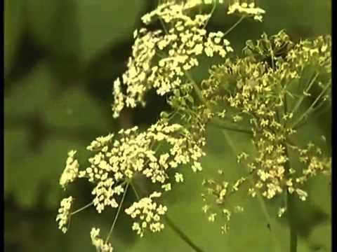 Сорняки: фото, название, описание. Сорняки на огороде