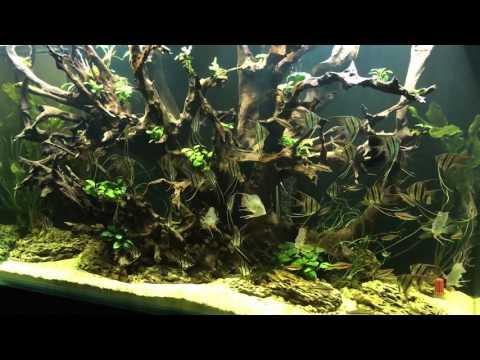 Video Clip Hay Fishing Pterophyllum Altum In Atabapo