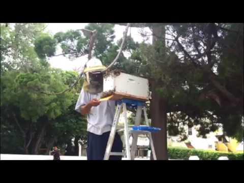 Bee Swarm Removal In Hamilton, June 23 2016