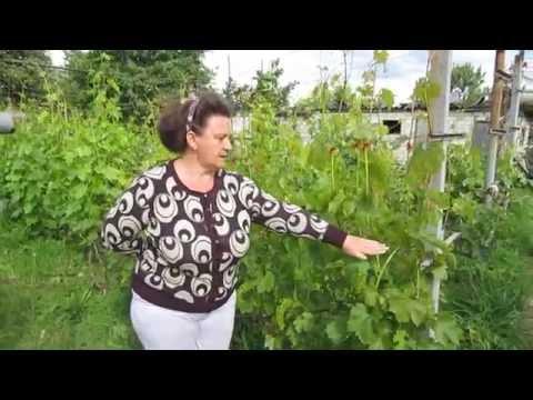 Как рассчитать нагрузку виноградного куста?  (Подснежник, Евдоким, Данилка, Величанин)