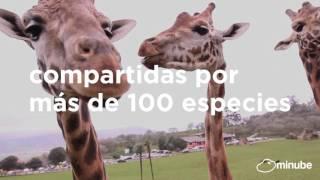 los rinocerontes, elefantes, cebras y jirafas