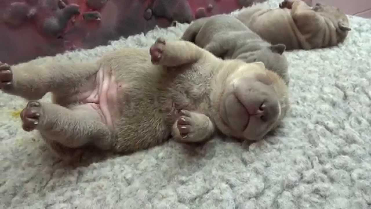 Must see Shar Pei Chubby Adorable Dog - maxresdefault  Picture_259999  .jpg