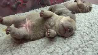 Sharpei Puppies 1 Week Old Sleeping Beauties!