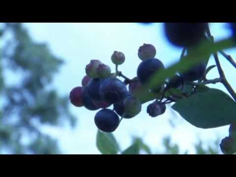 Blueberries the Top Crop in the Peach State?