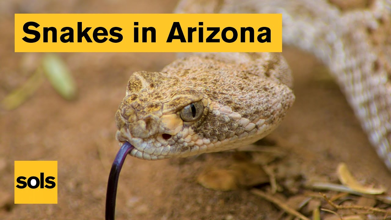 How to avoid getting bitten by a rattlesnake | ASU Now