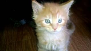 Настоящий тигр  Котик Мейн кун красного тигрового окраса. This tiger Cat Maine Coon red tiger color.
