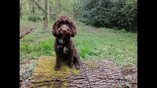 Mabel the Cockapoo - 2 Weeks Residential Dog Training