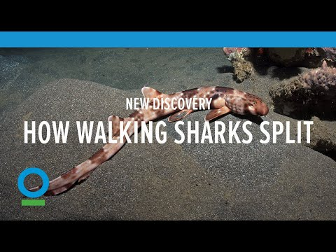 "Newly discovered sharks that walk are the ""youngest"" shark species on Earth"