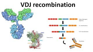 VDJ recombination overview