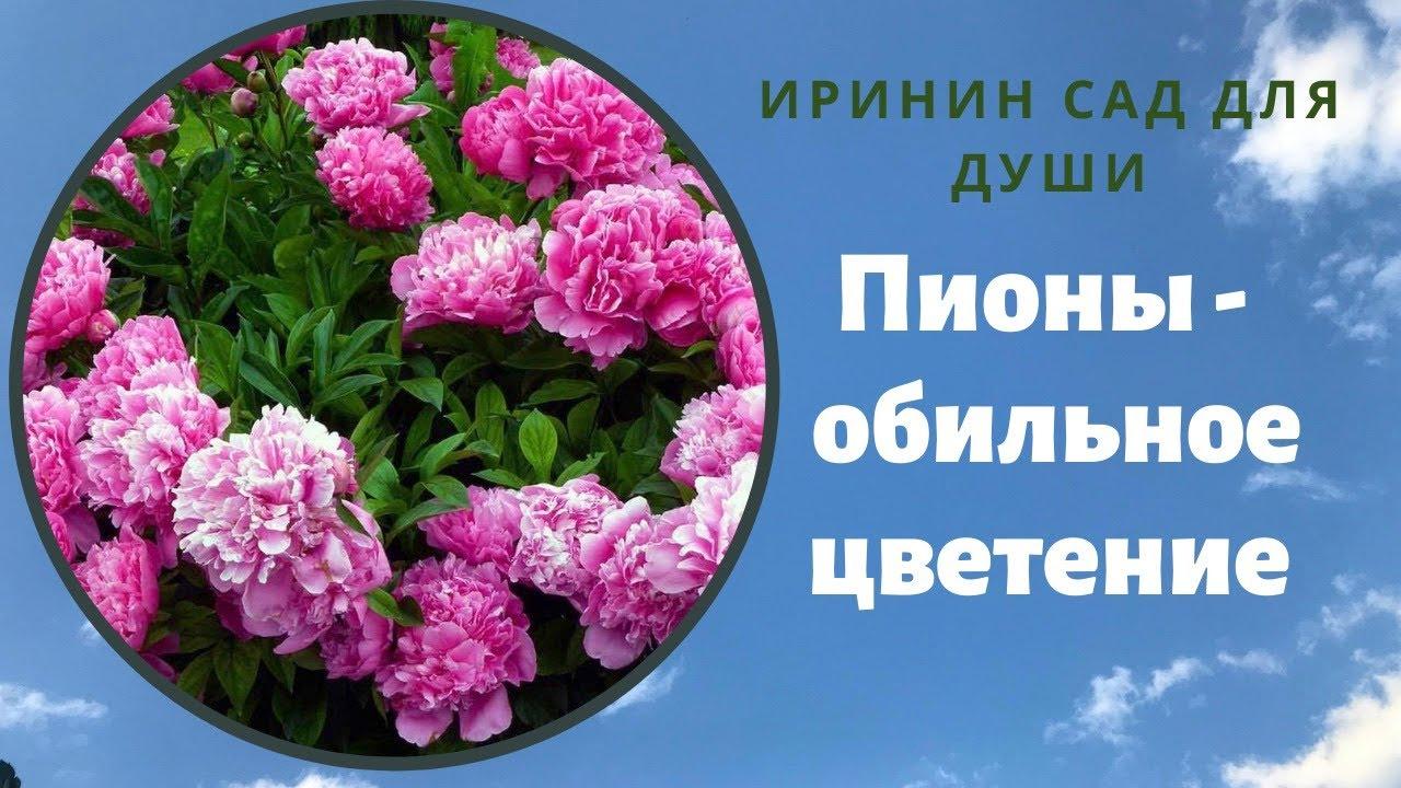 Пионы// Готовим к обильному цветению в новом сезоне.//Мой опыт, который дает отличный результат.