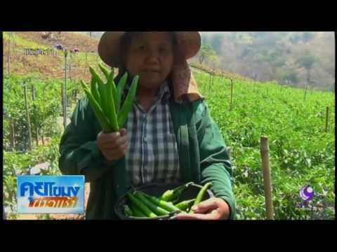 เกษตรกรพิษณุโลก ปลูกพริกขายรายหลักแสนต่อไร่