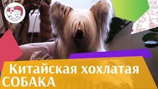 Китайская  хохлатая собака на ilikepet