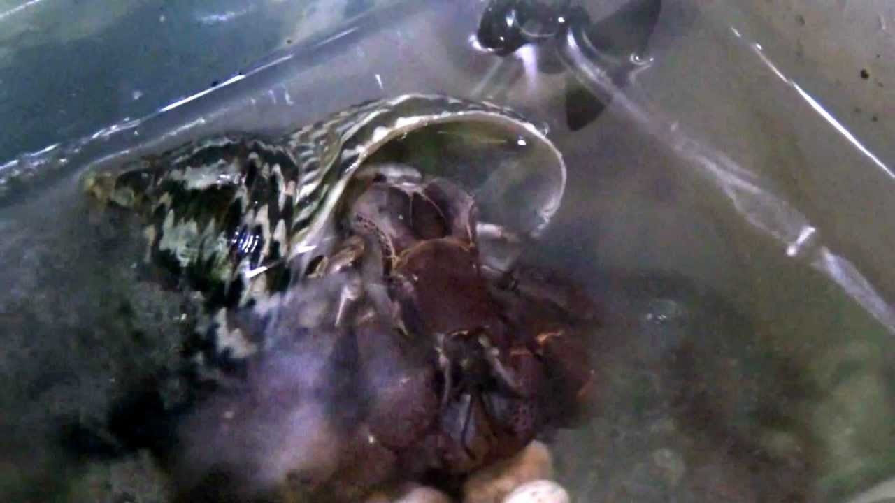 Land Hermit Crab Releasing Eggs Youtube