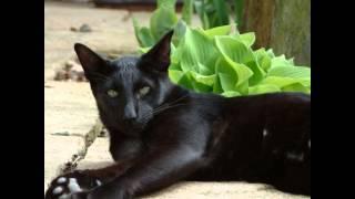 Абиссинская кошка (Abyssinian cat) породы кошек( Slide show)!(Происхождение породы , история абиссинской кошки . Подлинная история абиссинских кошек ( Abyssinian ) до..., 2015-08-30T10:52:37.000Z)